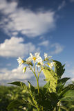 Potato plant flowers on sunny day, Midwest, USA Stock Photos