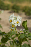 Potato plant with flowers Royalty Free Stock Images