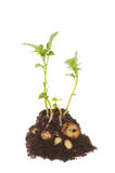 Potato plant Royalty Free Stock Images
