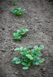Potato plant. In the garden royalty free stock photos