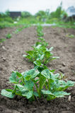 Potato plant. In the garden royalty free stock images