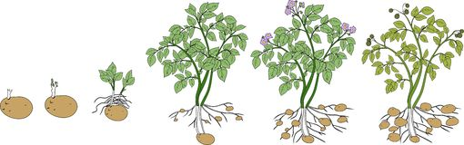 Potato plant growth cycle. On white background stock image