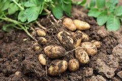 Potato Plant Outside The Soil With Raw Potatoes Stock Image