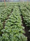 Potato Plant. Seeds potato plant diamont seed stock photos