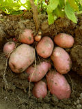 Potato plant with tubers. Digging up from the ground stock photo
