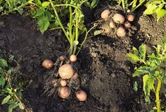 Potato plant with tubers. On soil stock photos