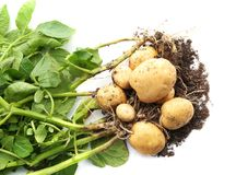 Potato plant with tubers. On white background royalty free stock images