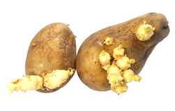 Potato with plant Stock Image