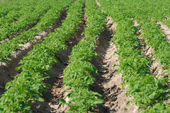 Potato plantation. Potato field in green period before blooming. Focus on middle plane stock photography