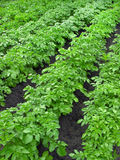 Potato plantation Royalty Free Stock Images