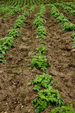Potato plantation. Lines planted with potato crops on a small farm near Bogota, Colombia Stock Images