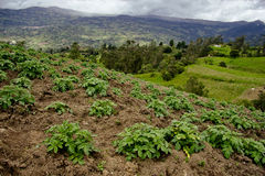 Potato plantation and mountains. Lines planted with potato crops on a small farm near Bogota, Colombia Royalty Free Stock Photos