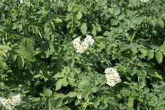 Potato plantation with white flowers. Vegetable plant. Potato plantation with white flowers Royalty Free Stock Photography