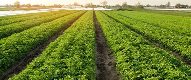 Potato plantations are grow on the field on a sunny day. Growing organic vegetables in the field. Vegetable rows. Agriculture. Farming. Selective focus stock photography