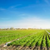 Potato plantations are grow on the field on a sunny day. Growing organic vegetables in the field. Vegetable rows. Agriculture. Farming. Selective focus royalty free stock photo