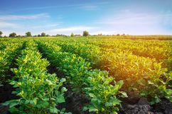 Potato plantations grow in the field. vegetable rows. farming, agriculture. Landscape with agricultural land. crops stock photo