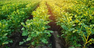 Potato plantations grow in the field. vegetable rows. farming, agriculture. Landscape with agricultural land. crops. selective foc stock photography