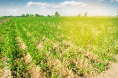 Potato plantations grow in the field. vegetable rows. Landscape with agricultural land. farming, agriculture. selective focus stock images