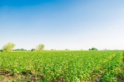 Potato plantations grow in the field. vegetable rows. Landscape with agricultural land. farming, agriculture. selective focus stock image