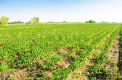 Potato plantations grow in the field. vegetable rows. Landscape with agricultural land. farming, agriculture. selective focus royalty free stock images