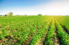 Potato plantations grow in the field. vegetable rows. Landscape with agricultural land. farming, agriculture. selective focus royalty free stock photo