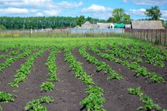 Potato plantations are growing in the field. Landscape with farmland.  stock photography