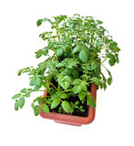 Potato planted in a pot. A rectangular pot of potato plant, showing vibrant green leaves stock photo