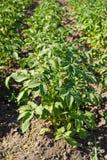 Potato plants Stock Image