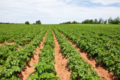 Potato plants Royalty Free Stock Photography