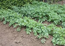 Potato Plants. Stock Photography