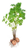 Potato plants. On white background Stock Image