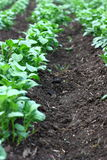 Potato plants. Detail on potato plants and soil Royalty Free Stock Photography