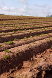 Potato plants in field 1 Royalty Free Stock Photo