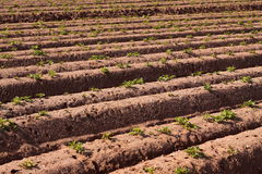 Potato plants in field 2 Royalty Free Stock Photography