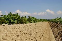 Potato plants Stock Photos