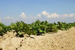 Potato Plants Royalty Free Stock Photo
