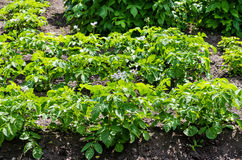 Potato plants royalty free stock images