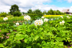Potato plants with flowers at the plantation in summer day. Potato plants with flowers at the plantation in sunny summer day Stock Images