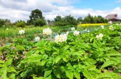 Potato plants with flowers at the plantation in summer day. Potato plants with flowers at the plantation in sunny summer day Royalty Free Stock Images