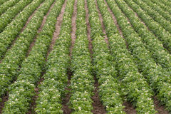 Potato Plants Grow Idaho Farm Agriculture Food Crop Stock Images