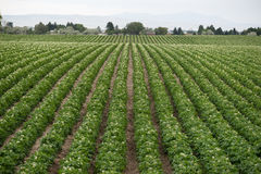Potato Plants Grow Idaho Farm Agriculture Food Crop Royalty Free Stock Photos