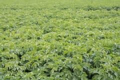 Potato plants. Image of a potato field Stock Images