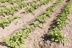 Potato plants. Potato plants in the organic vegetable garden Groentenhof in Leidschendam, Netherlands Stock Image