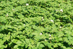 Potato plants. Royalty Free Stock Images