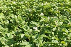Potato plants. Royalty Free Stock Photos