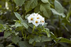 Potato plants. That grow in a field or in a vegetable garden, a green close-up royalty free stock photos