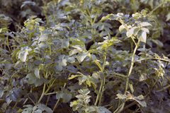 Potato plants royalty free stock photography