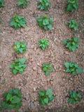 Potato plants Stock Photos