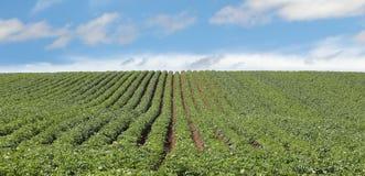 Potato Plants Stock Photography