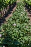 Potato plants between vineyards from Hungary.  stock image